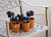 DESIGNER CLARE MATTHEWS: HOUSEPLANT PROJECT - TERRACOTTA CONTAINERS WITH AEONIUM ZWARTKOP ON A GREY METAL CHAIR
