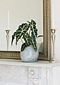 DESIGNER CLARE MATTHEWS: HOUSEPLANT PROJECT - ALOCASIA AMAZONICA POLLY - AFRICAN MASK - IN A SGREY STONE CONTAINER ON A MANTELPIECE BESIDE A MIRROR