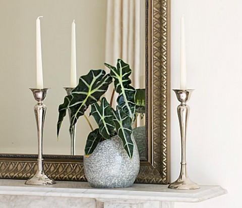 DESIGNER_CLARE_MATTHEWS_HOUSEPLANT_PROJECT__ALOCASIA_AMAZONICA_POLLY__AFRICAN_MASK__IN_A_SGREY_STONE