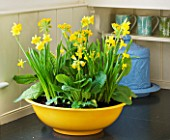 DESIGNER CLARE MATTHEWS: HOUSEPLANT - YELLOW CONTAINER ON KITCHEN WORK SURFACE WITH SPRING PLANTING OF BULBS - NARCISSUS TETE- A - TETE AND COWSLIPS - PRIMULA VERIS
