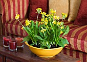DESIGNER CLARE MATTHEWS: HOUSEPLANT - YELLOW CONTAINER WITH SPRING PLANTING OF BULBS IN SITTING ROOM  - NARCISSUS TETE- A - TETE AND COWSLIPS - PRIMULA VERIS