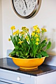 DESIGNER CLARE MATTHEWS: HOUSEPLANT - YELLOW CONTAINER WITH SPRING PLANTING OF BULBS IN KITCHEN  - NARCISSUS TETE- A - TETE AND COWSLIPS - PRIMULA VERIS