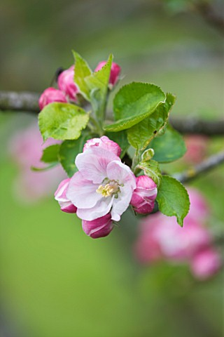 DESIGNER_CLARE_MATTHEWS_FRUIT_GARDEN_PROJECT__APPLE_BLOSSOM_IN_SPRING__MALUS_LAXTONS_SUPERB