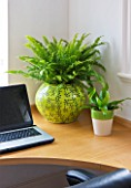 DESIGNER CLARE MATTHEWS: HOUSEPLANT PROJECT - YELLOW CONTAINER IN HOME OFFICE PLANTED WITH BOSTON FERN - NEPHROLEPSIS EXALTATA BOSTONIENSIS AND A LITTLE BIRDS NEST FERN