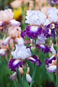CLOSE UP OF THE PURPLE AND LAVENDER BLUE FLOWER OF IRIS IMPRESSIONS DE JOUY - CAYEUX
