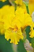 CLOSE UP OF THE YELLOW FLOWER OF IRIS LOUIS DOR - CAYEUX