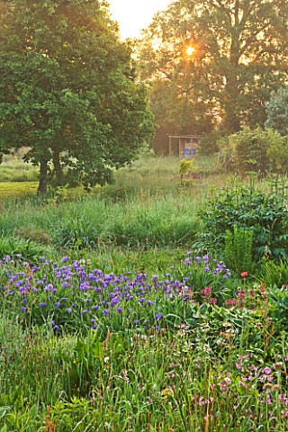 MOORS_MEADOW_GARDEN_AND_NURSERY__HEREFORDSHIRE_DAWN__IRIS_SIBIRICA_AND_THE_WILDFLOWER_LYCHNIS_FLOS__