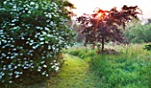 MOORS MEADOW GARDEN AND NURSERY  HEREFORDSHIRE: GRASS PATH AT DAWN - VIBURNUM PLICATUM F TOMENTOSUM MARIESII AND WEEPING COPPER BEECH - FAGUS SYLVATICA ATROPURPUREA GROUP