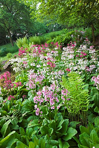 MOORS_MEADOW_GARDEN_AND_NURSERY__HEREFORDSHIRE_THE_FERNERY_WITH_CANDELABRA_PRIMULAS__PRIMULA_BEESIAN