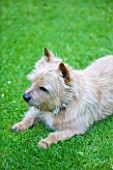 DESIGNER BUTTER WAKEFIELD  LONDON : BUTTERS NORFOLK TERRIER BISCUIT ON THE LAWN