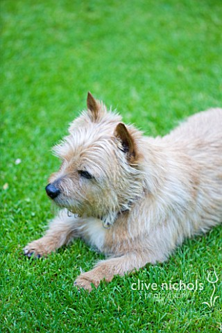 DESIGNER_BUTTER_WAKEFIELD__LONDON__BUTTERS_NORFOLK_TERRIER_BISCUIT_ON_THE_LAWN