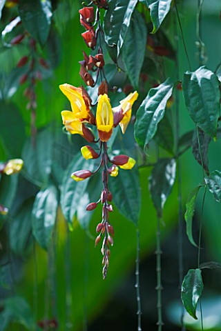 CLOSE_UP_OF_THE_FLOWERS_OF_THE_CLOCK_VINE__THUNBERGIA_MYSORENSIS_BRICK_AND_BUTTER_VINE