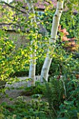 SANDHILL FARM HOUSE  HAMPSHIRE - DESIGNER ROSEMARY ALEXANDER: BIRCH TREE IN THE FRONT GARDEN