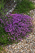 SANDHILL FARM HOUSE  HAMPSHIRE - DESIGNER ROSEMARY ALEXANDER - THYMUS IN GRAVEL IN THE FRONT GARDEN