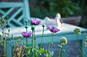 SANDHILL FARM HOUSE  HAMPSHIRE - DESIGNER ROSEMARY ALEXANDER - ANNUAL POPPIES IN FRONT GARDEN WITH AQUA WOODEN BENCH BEHIND