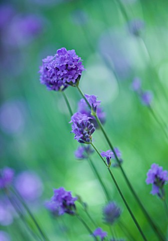 CLOSE_UP_OF_THE_BLUE_FLOWERS_OF_LAVANDULA_ANGUSTIFOLIA_HIDCOTE