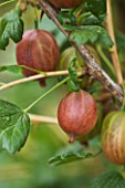 CLARE MATTHEWS FRUIT GARDEN PROJECT: THE  FRUITS OF GOOSEBERRY  ACHILLES. EDIBLE  BERRY  BERRIES