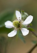 CLARE MATTHEWS FRUIT GARDEN PROJECT: CLOSE UP OF THE FLOWERS OF BLACKBERRY OREGON THORNLESS.