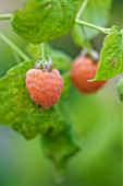 CLARE MATTHEWS FRUIT GARDEN PROJECT: CLOSE UP OF THE BERRIES OF RASPBERRY MALAHAT. BERRY  EDIBLE