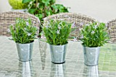 DESIGNER CLARE MATTHEWS: HOUSEPLANT - TABLE SETTING WITH METAL CONTAINERS PLANTED WITH ISOTOMA AXILLARIS  IN CONSERVATORY