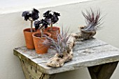 DESIGNER CLARE MATTHEWS: TERRACOTTA CONTAINERS PLANTED WITH AEONIUM ARBOREUM SCHWARZKOPF ON WOODEN TABLE WITH DRIFTWOOD PLANTED WITH AIR PLANTS