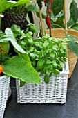 DESIGNER CLARE MATTHEWS - CONSERVATORY WITH VARIOUS CONTAINERS PLANTED WITH BASIL AND PEPPERS