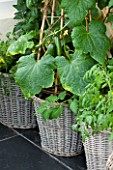 DESIGNER CLARE MATTHEWS - CONSERVATORY WITH WICKER BASKETS/ CONTAINERS PLANTED WITH TOMATOES AND CUCUMBERS