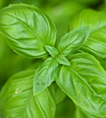 DESIGNER CLARE MATTHEWS - CLOSE UP OF BASIL LEAVES - HERB  SCENT