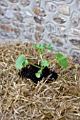 DESIGNER CLARE MATTHEWS - GROWING STRAWBERRIES AND NASTURTIUMS IN A STRAW BALE: ADD A HANDFUL OF MULTI-PURPOSE COMPOST TO EACH HOLE AND PUSH THE YOUNG PLANTS INTO THE HOLES