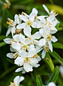 DESIGNER CHARLOTTE ROWE  LONDON: CLOSE UP PLANT PORTRAIT OF THE WHITE FLOWERS OF CHOISYA TERNATA AZTEC PEARL. SHRUB, SUMMER