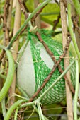 DESIGNER CLARE MATTHEWS: NETS TO PACKAGE AVACADOS USED AS A NET TO SUPPORT A SWEETHEART MELON