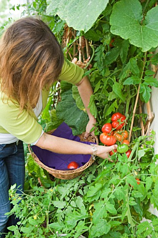 DESIGNER_CLARE_MATTHEWS_CLARE_HARVESTING_TOMATOES_IN_HER_CONSERVATORY