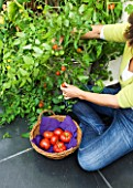 DESIGNER CLARE MATTHEWS: CLARE HARVESTING TOMATOES IN HER CONSERVATORY