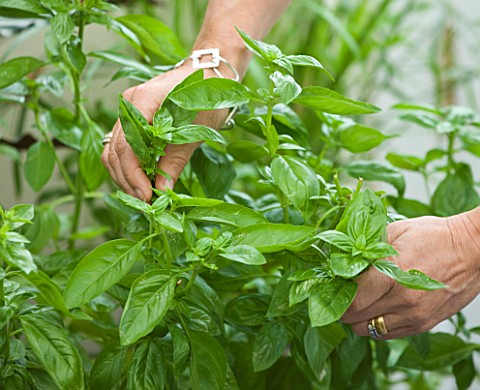DESIGNER_CLARE_MATTHEWS_CLARE_PICKING_BASIL_LEAVES_IN_HER_CONSERVATORY