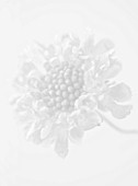 BLACK AND WHITE CLOSE UP IMAGE OF THE FLOWER OF SCABIOSA ATROPURPUREA CHILLI PEPPER