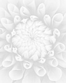 BLACK AND WHITE CLOSE UP IMAGE OF DAHLIA TIPTOE (MINIATURE FLOWERED DECORATIVE)