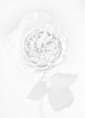 BLACK AND WHITE CLOSE UP IMAGE OF DAVID AUSTIN ROSE MIRANDA (AUSIMMON)