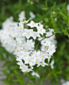 VILLA GIUSEPPINA  LAKE COMO  ITALY  - WHITE FLOWERS OF SOLANUM JASMINOIDES ALBUM