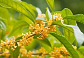 VILLA GIUSEPPINA  LAKE COMO  ITALY  -  ORANGE FLOWERS OF OSMANTHUS FRAGRANS AURANTIACUS