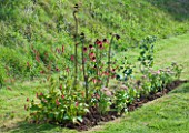 DESIGNER CLARE MATTHEWS  DEVON : FRUIT GARDEN PROJECT: NEWLY PLANTED BED WITH JOSTABERRY BUSHES  SEDUM AUTUMN JOY  ECHINACEA SUNDOWN AND PERSICARIA FIRE TAIL