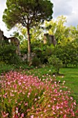 NINFA GARDEN, GIARDINI DI NINFA, ITALY: PLANTING OF GAURA LINDHEIMERI WITH PINE AND RUINED BUILDING IN THE BACKGROUND. LAWN, ROMANTIC, ITALIAN GARDEN, MEDITTERANEAN