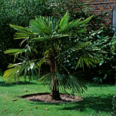 THE CHUSAN PALM  TRACHYCARPUS FORTUNEI  OUTSIDE ANGUS WHITES HOUSE AT ARCHITECTURAL PLANTS  SUSSEX