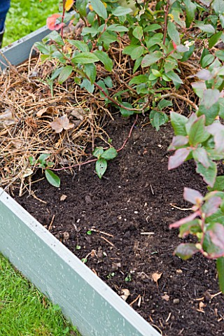 DESIGNER_CLARE_MATTHEWS_FRUIT_GARDEN_PROJECT__BLUEBERRY_BED_AFTER_WEEDING_WITH_MULCH_ADDED