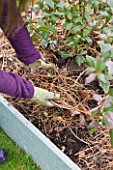 DESIGNER: CLARE MATTHEWS: FRUIT GARDEN PROJECT - CLARE ADDS MULCH TO BLUEBERRY BED AFTER WEEDING