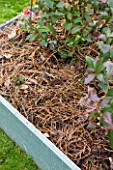 DESIGNER: CLARE MATTHEWS: FRUIT GARDEN PROJECT - BLUEBERRY BED AFTER WEEDING WITH MULCH ADDED