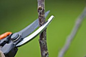 DESIGNER: CLARE MATTHEWS: FRUIT GARDEN PROJECT: PRUNING A SHRUB WITH SHARP PAIR OF SECATEURS