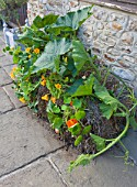 DESIGNER CLARE MATTHEWS - GROWING STRAWBERRIES AND NASTURTIUMS IN A STRAW BALE