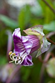 RHS GARDEN  ROSEMOOR  DEVON: CLOSE UP OF THE FLOWER OF COBAEA SCANDENS - CUP AND SAUCER PLANT  VINE   CATHEDRAL BELL