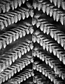 RHS GARDEN  WISLEY   SURREY - BLACK AND WHITE CLOSE UP OF LEAF OF DICKSONIA SQUARROSA