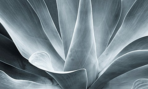 RHS_GARDEN__WISLEY___SURREY__BLACK_AND_WHITE_TONED_IMAGE_OF_AGAVE_ATTENUATA